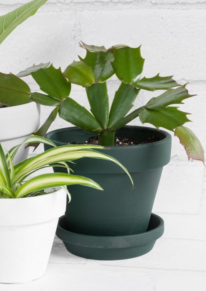 christmas cactus in a dark green pot