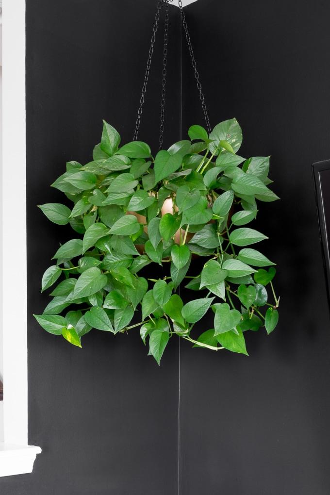hanging pothos plant