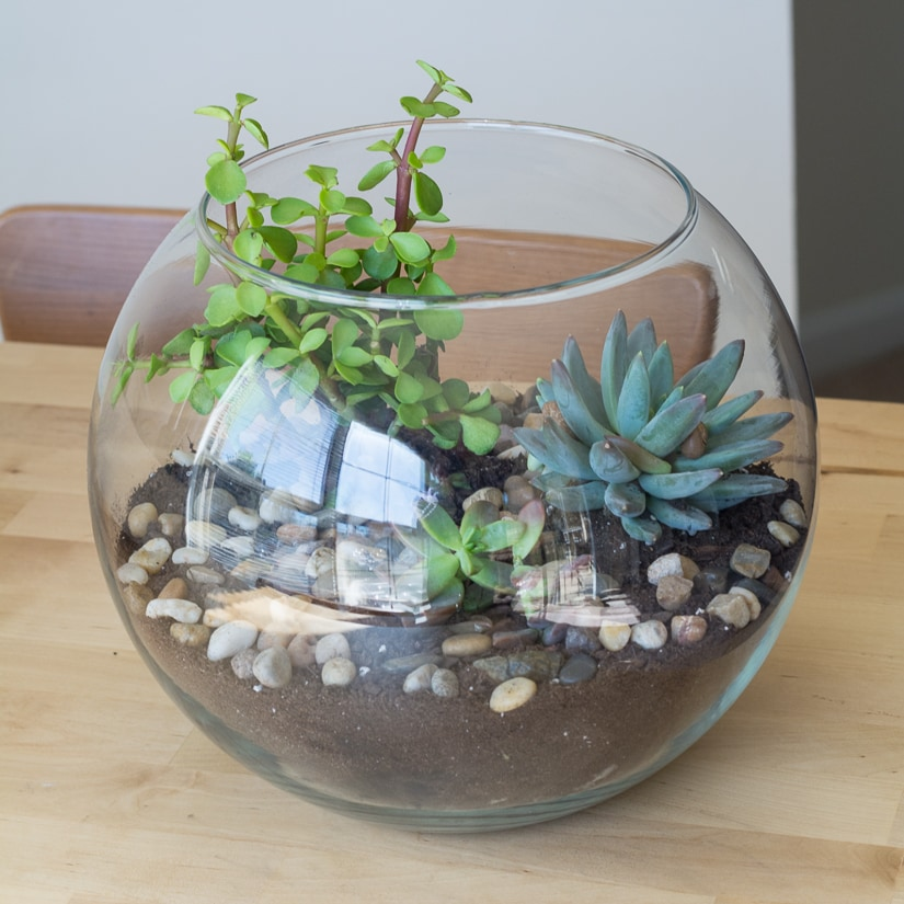 Make a Cute Little Succulent Terrarium | So easy to make and so pretty!