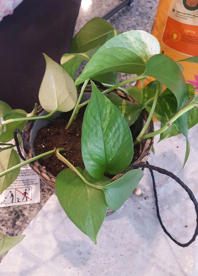 Golden pothos plants are easy-to-grow, beautiful plants for your home. Learn how to propagate golden pothos plants from cuttings. #pothosplant #pothospropagation #houseplants #hanginghouseplants #propogatinghouseplants