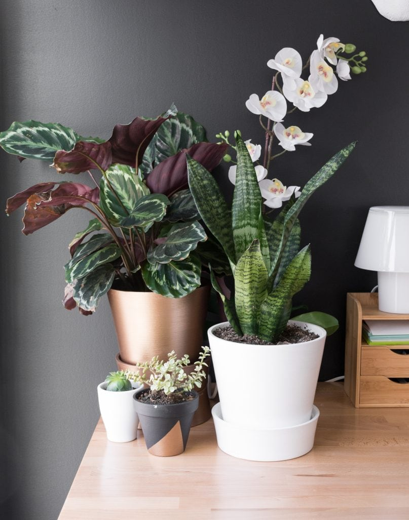 Calathea Medallion Plant Care
