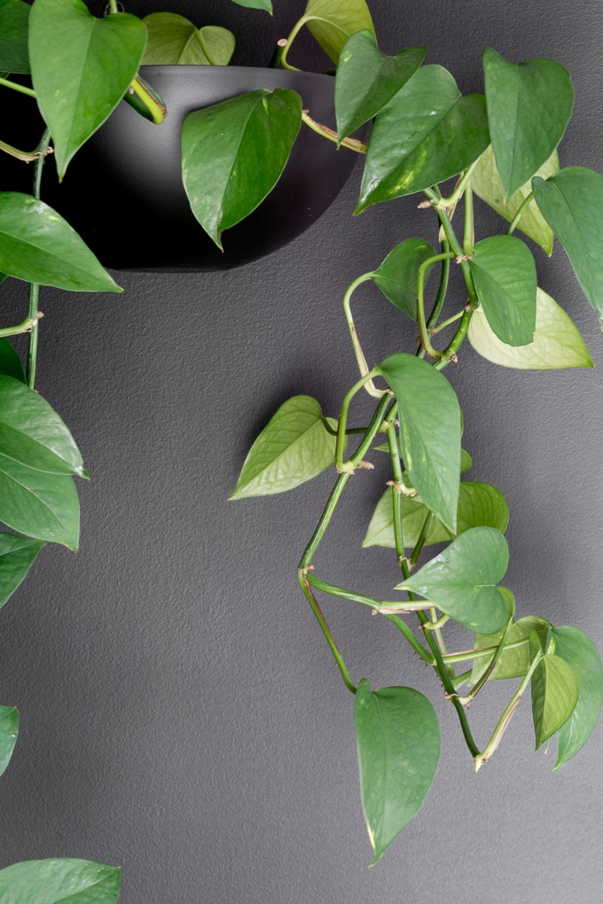 pothos plant hanging in a DIY planter