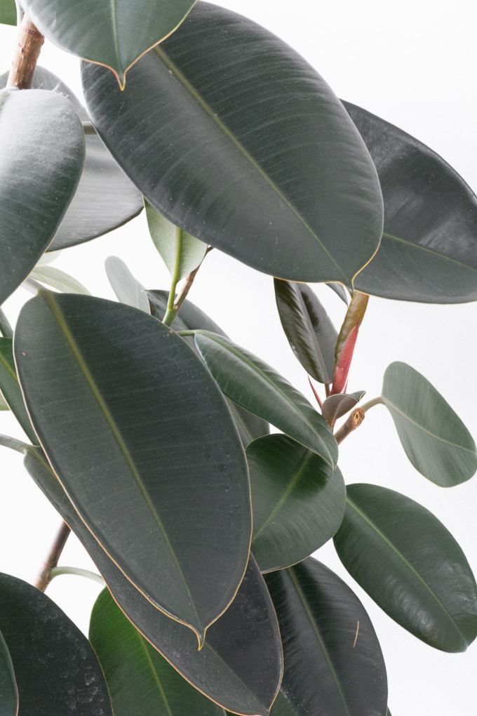 closeup of rubber plant leaves