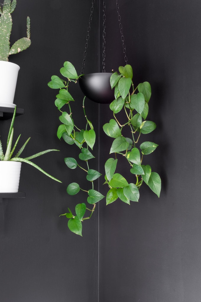 golden pothos hanging basket,