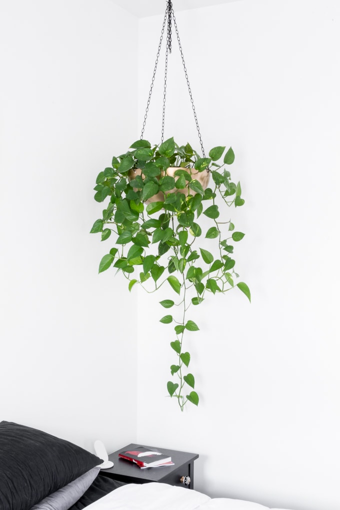 beautiful hanging basket pothos plant