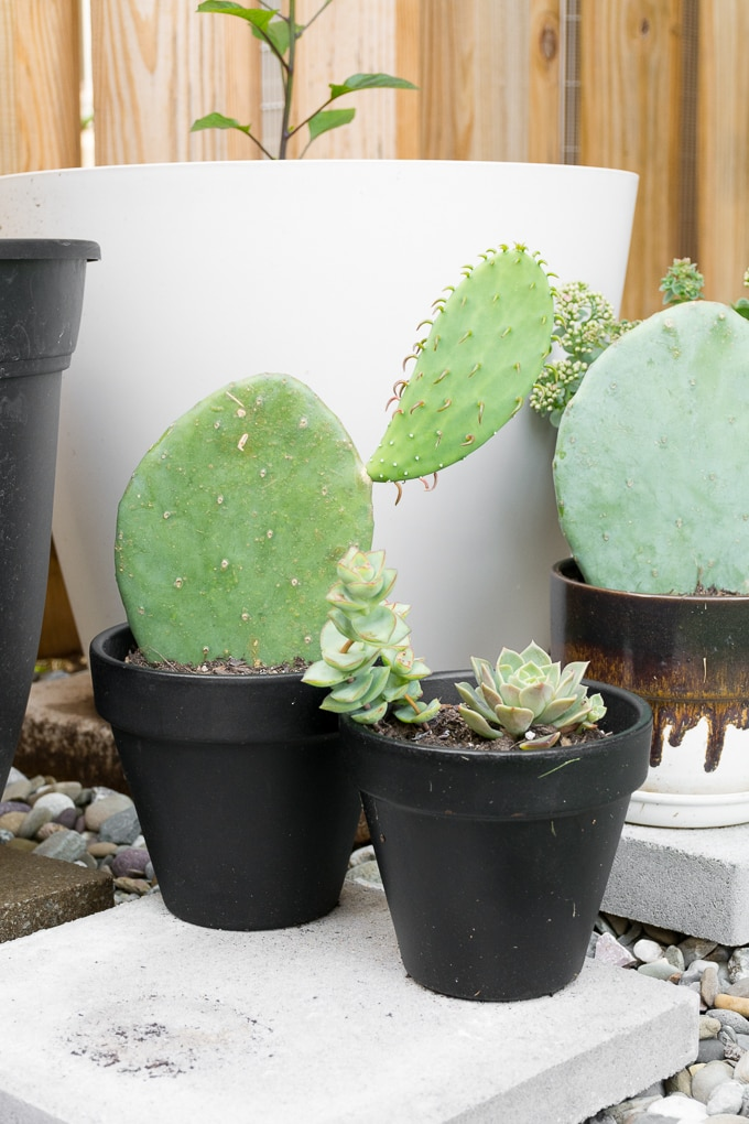 Prickly Pear Cactus Care