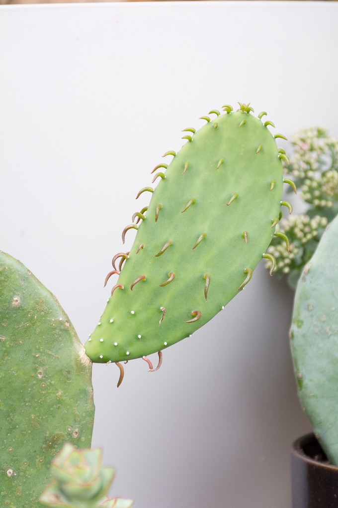 Best Plants to Propagate: Prickly pear cactus pads