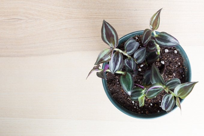 how to care for a wandering jew plant