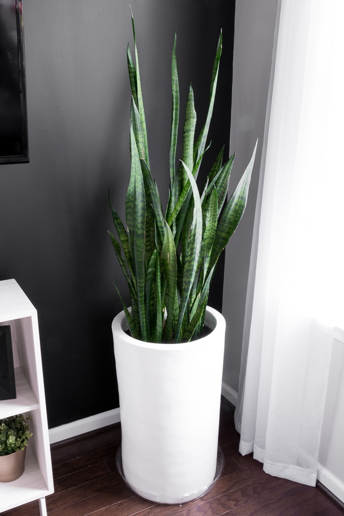 how to take care of a snake plant