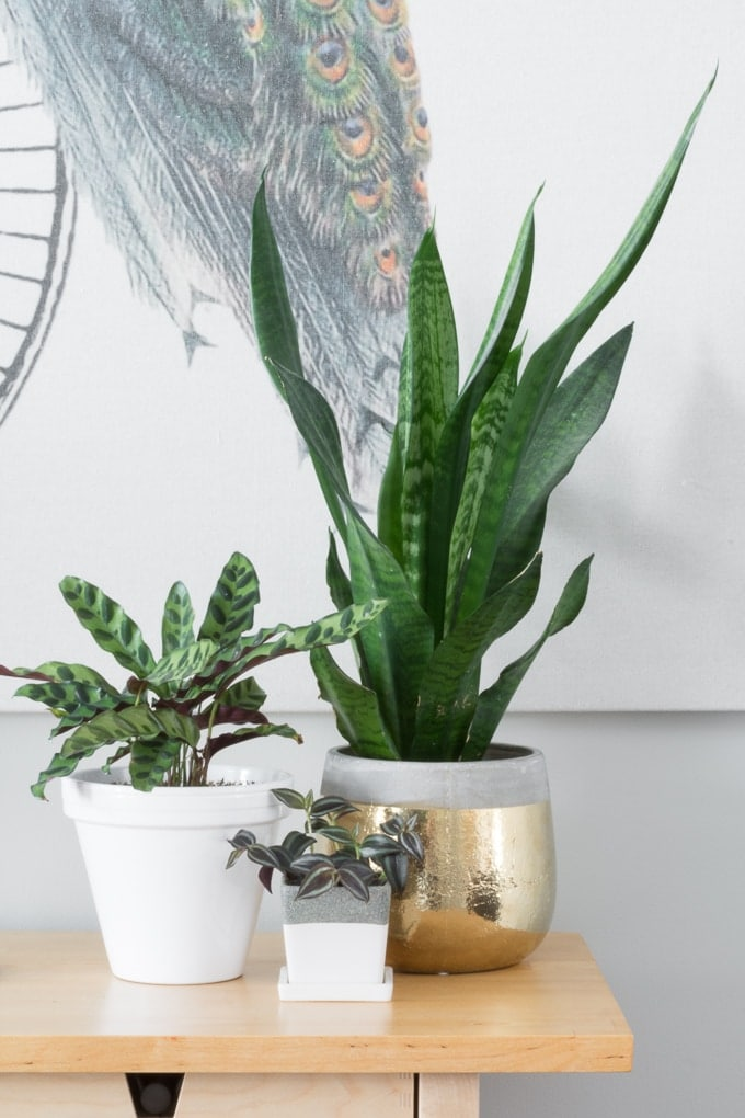 how to take care of snake plants