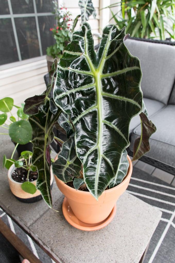alocasia polly plant