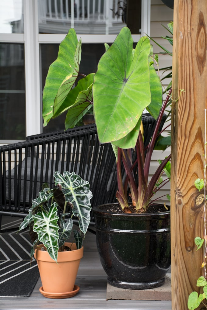 elephant ear plants on a small patio