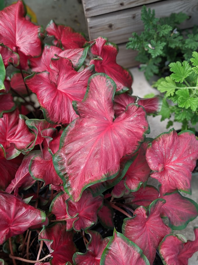 beautiful red and green caladium leaves