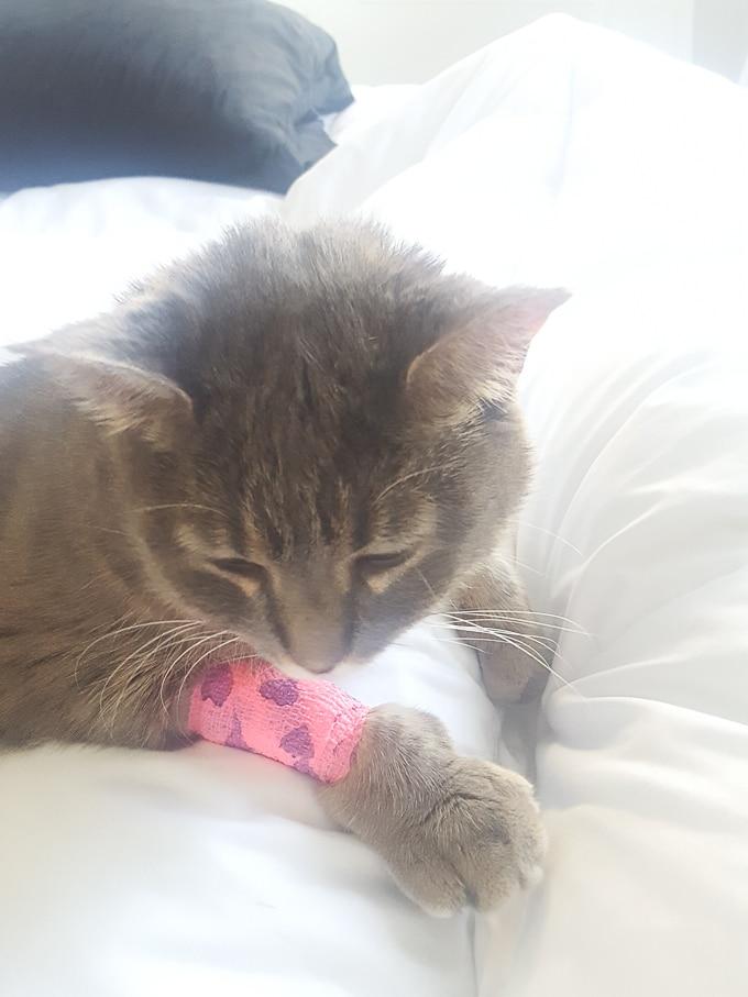 post-surgery cat