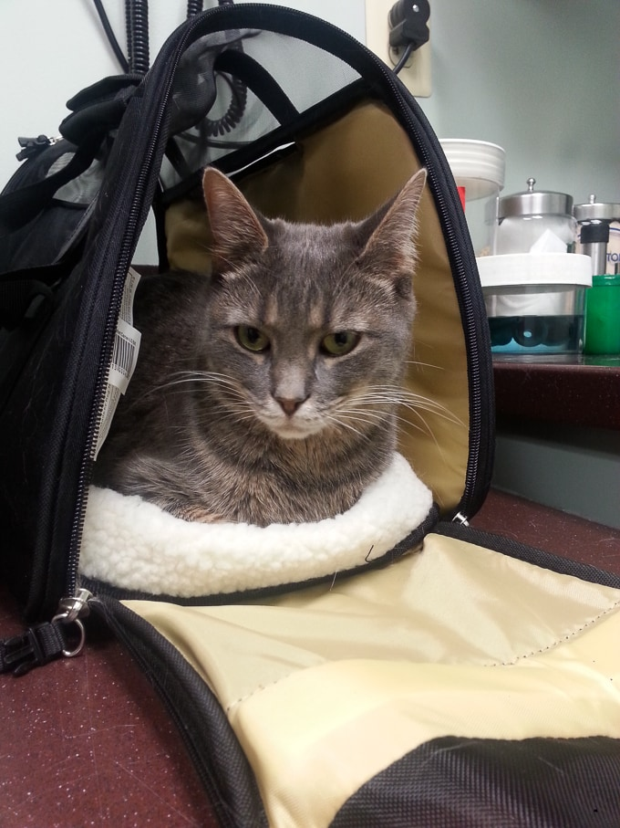 Feline Stomatitis Treatment Our Experience With Severe