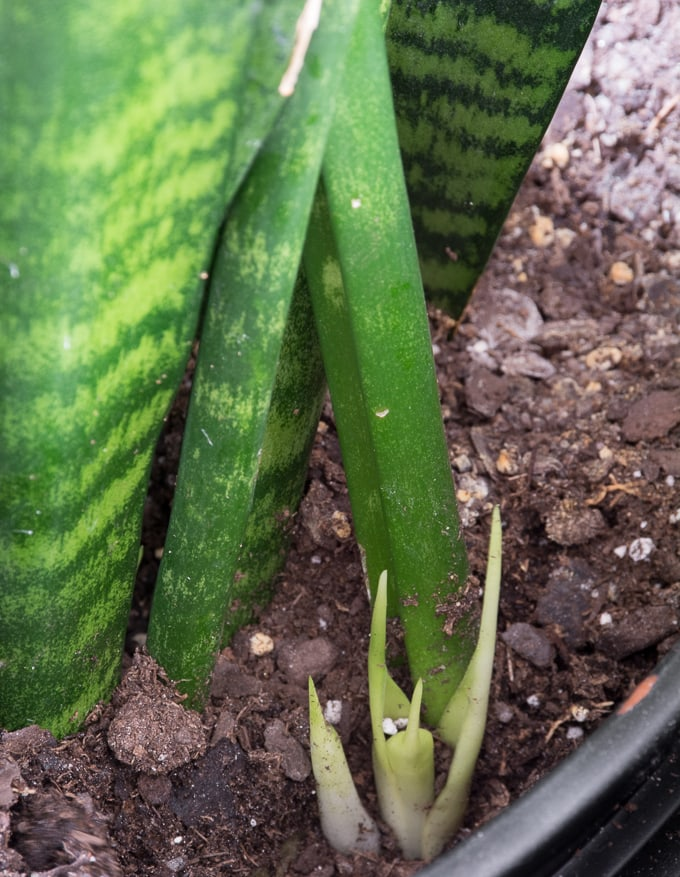 How to propagate snake plants