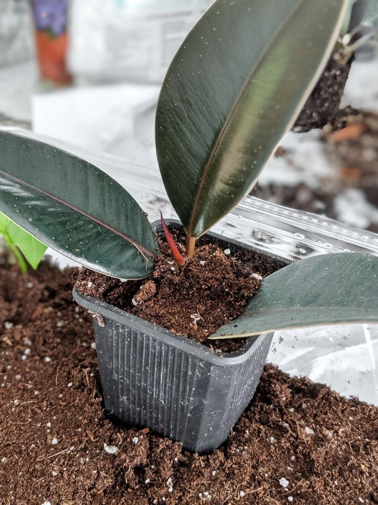 propagating a rubber plant