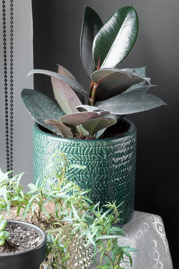 beautiful rubber plant in a green pot