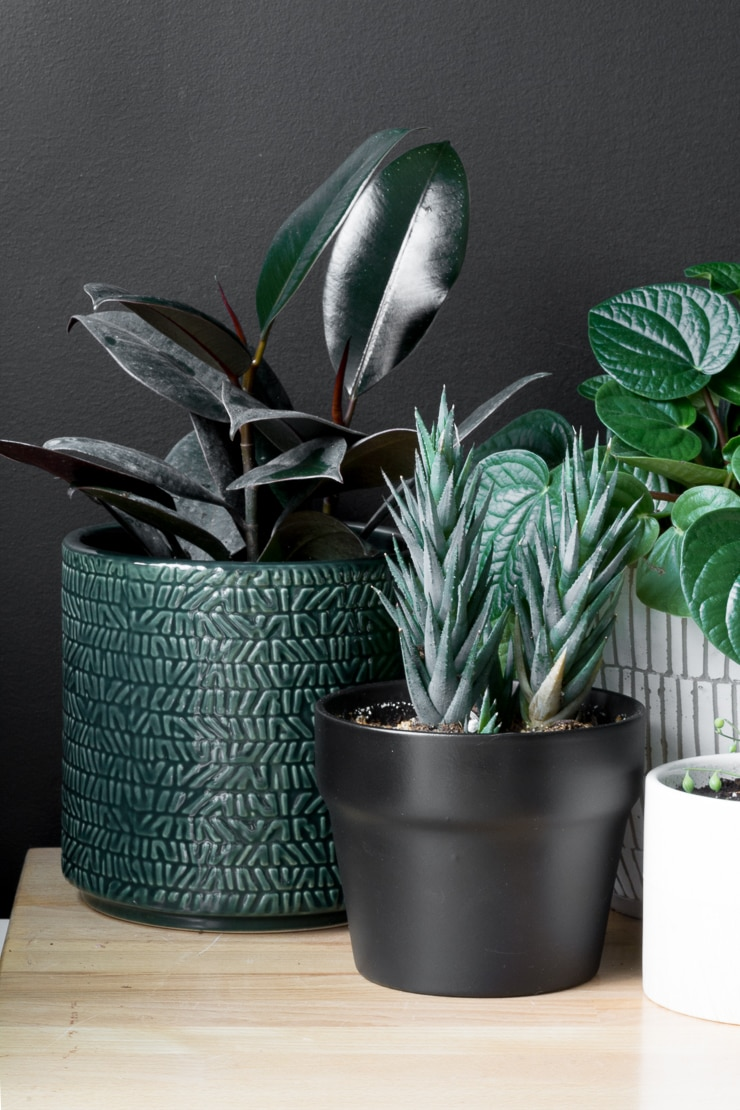 beautiful rubber plant with other plants on a table