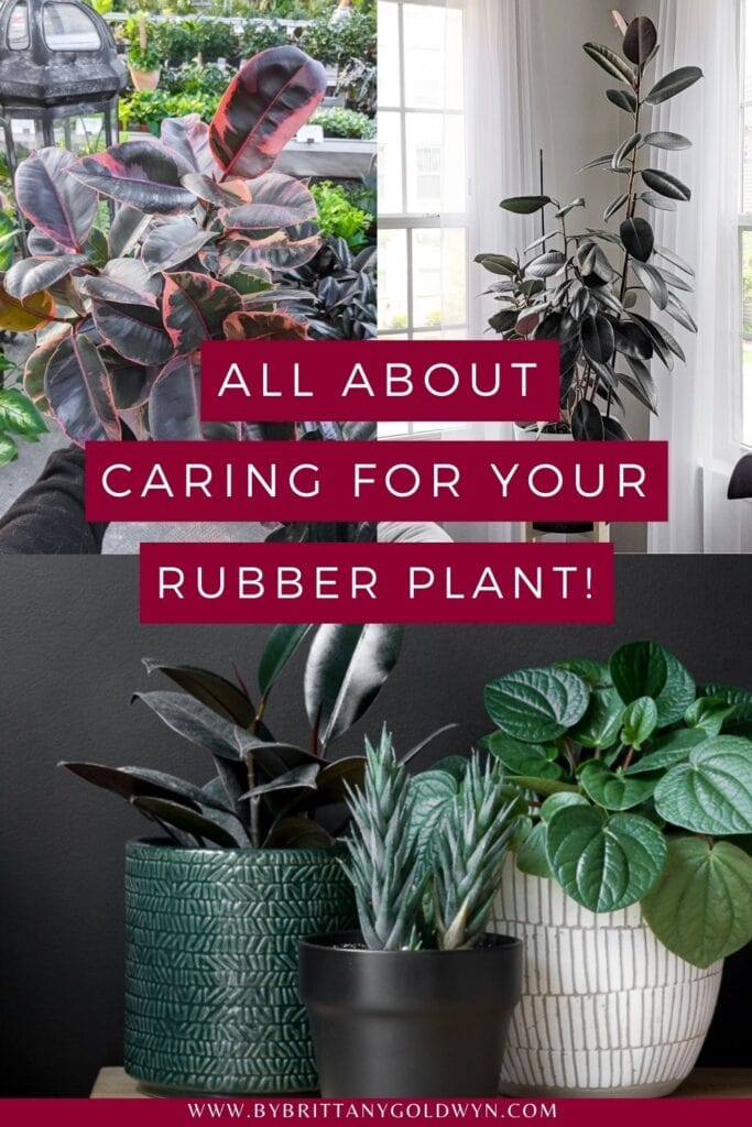 pinnable graphic of rubber plants with text overlay about how to care for a rubber plant