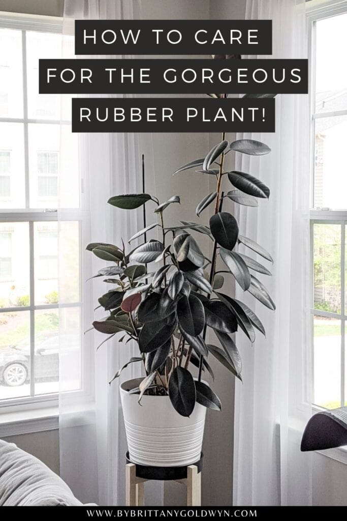 pinnable graphic of rubber plant with text overlay about how to care for a rubber plant