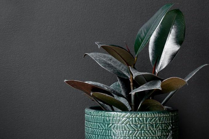 how to propagate a rubber plant