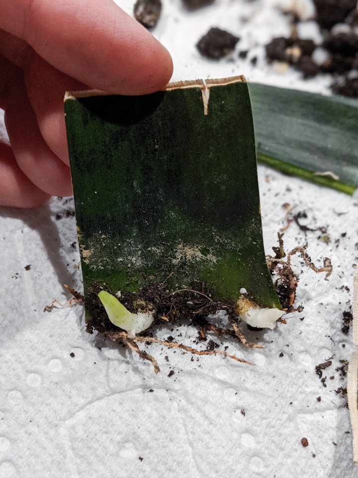 Propagating snake plant from a cutting