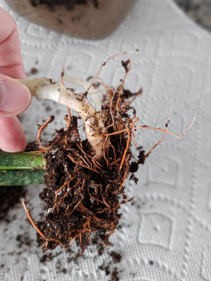 snake plant rhizomes sprouting from a mother plant