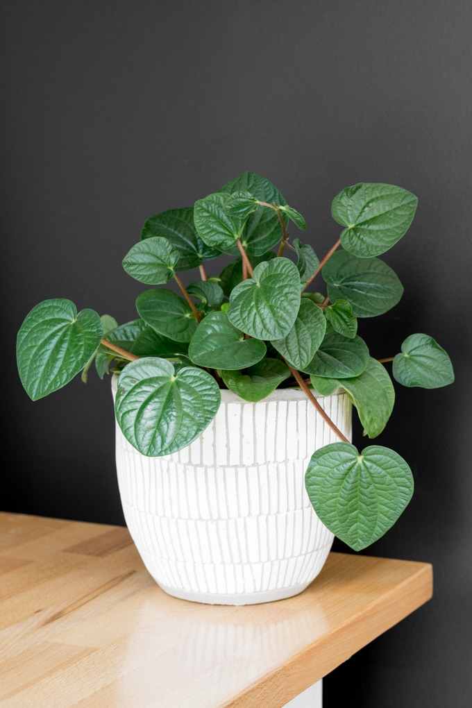 ripple peperomia plant care guide