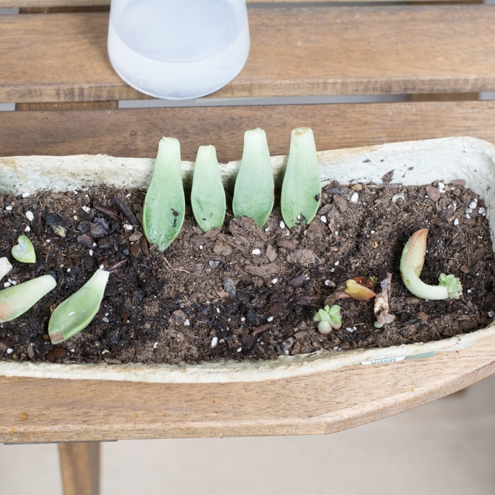 succulent leaves ready to propagate