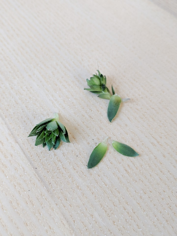 propagating succulents from leaves and cuttings