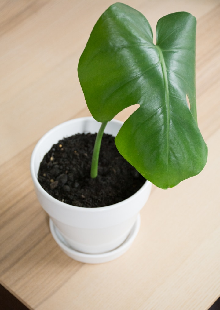 How to propagate monstera deliciosa