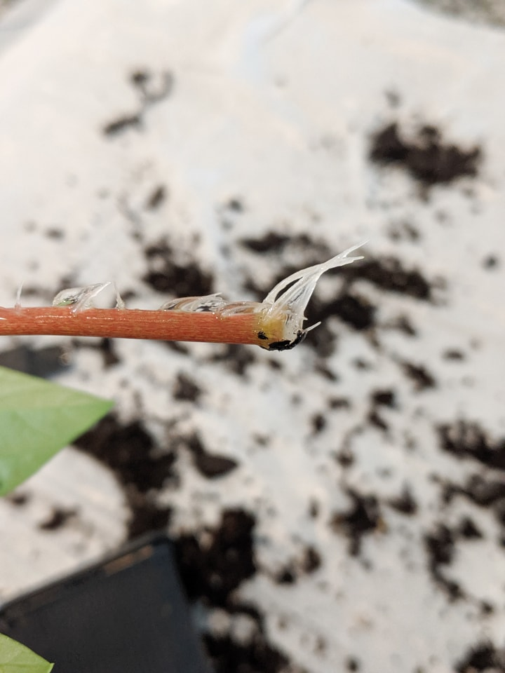 new root growth on stem