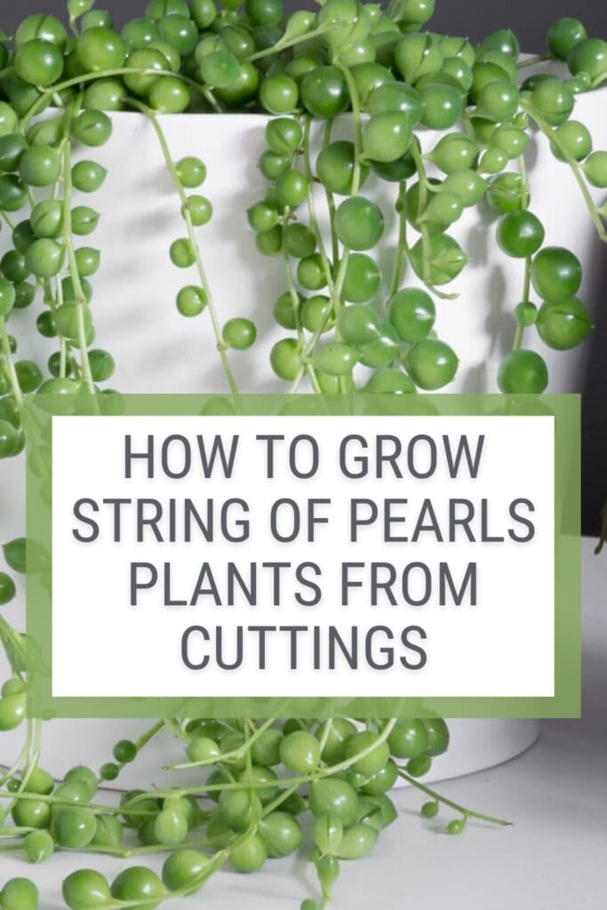 string of pearl plant in white pot with text How to Grow String of Pearls Plants from Cuttings