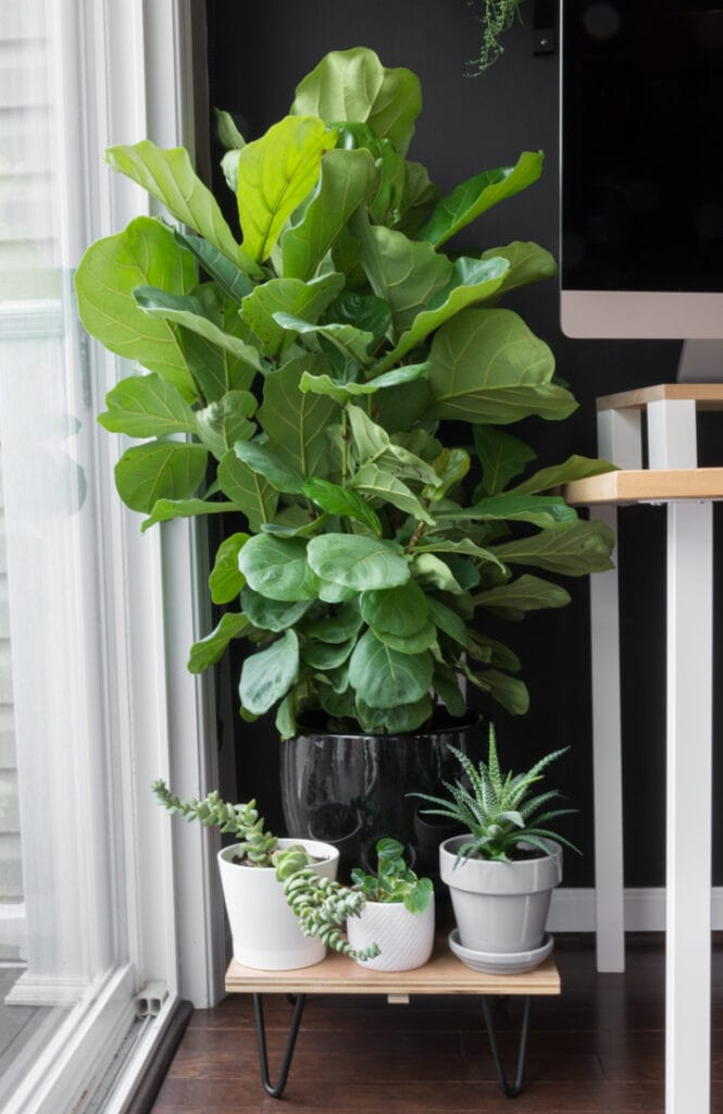 How to Care for a Fiddle Leaf Fig Plant