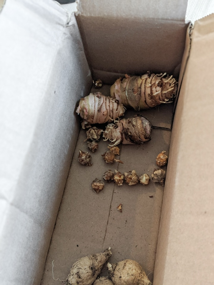 Storing Elephant Ear Bulbs for Winter