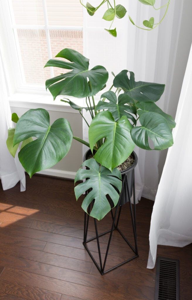 Beautiful monstera plant