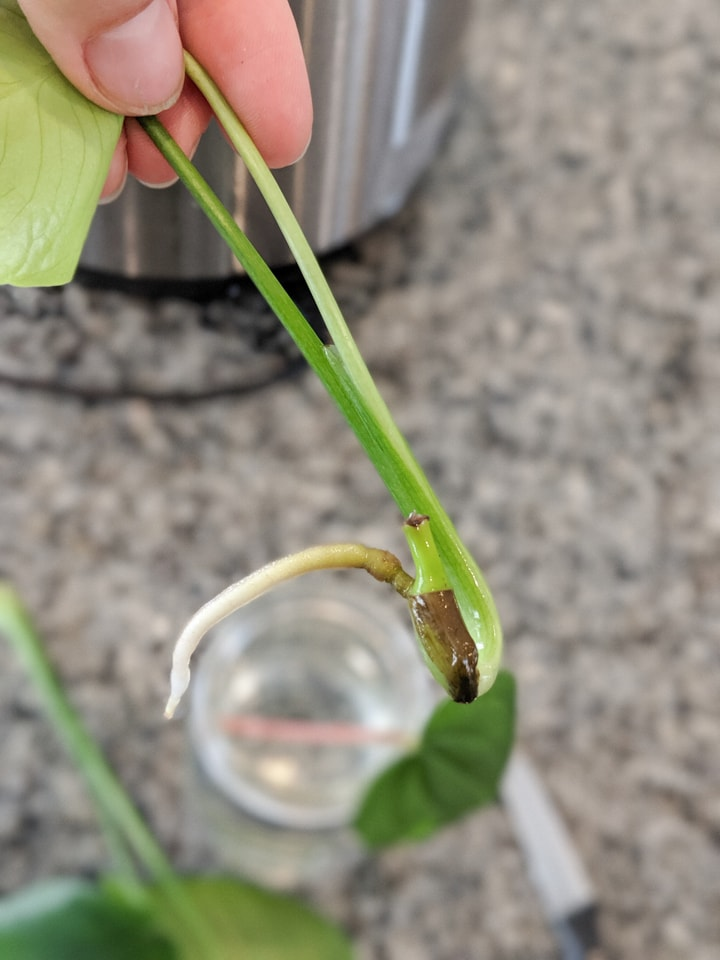 monstera cutting rooted in water
