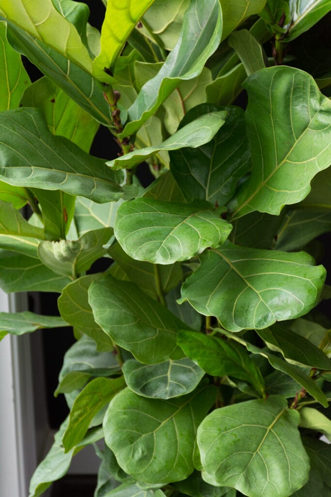 How to Debug large Plants to Bring Indoors