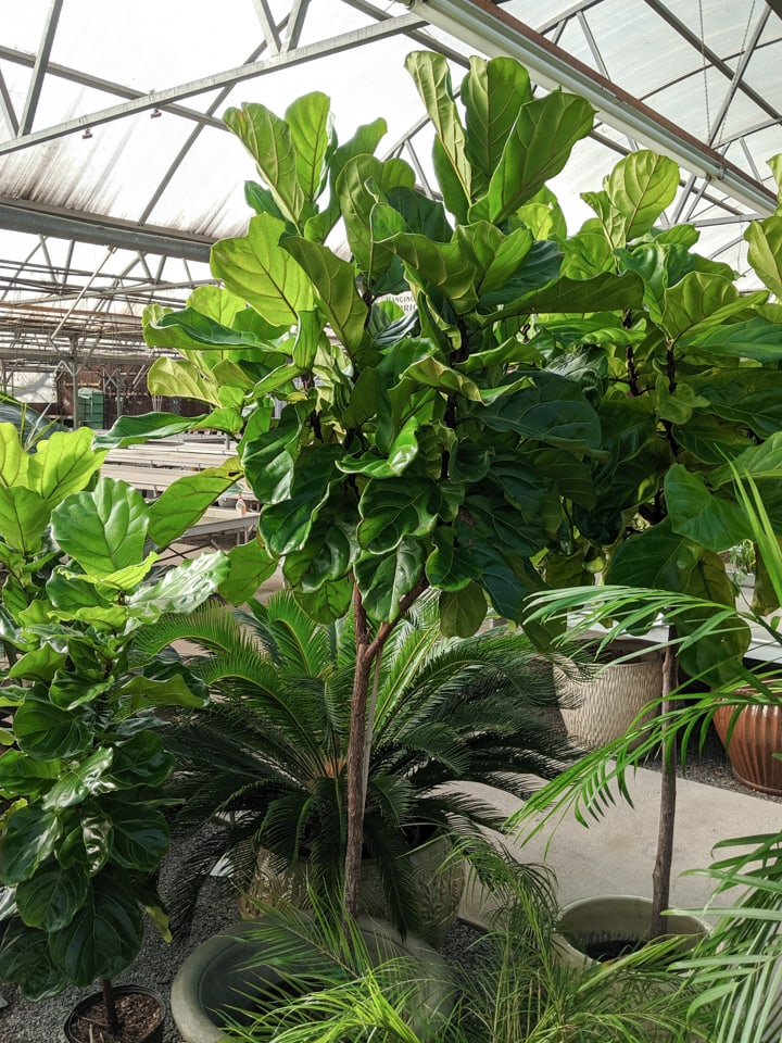 Huge beautiful fiddle leaf fig