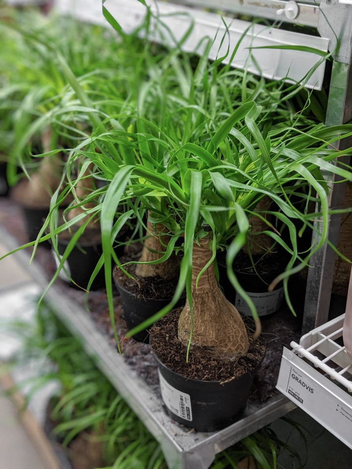 ponytail palm plants at Ikea