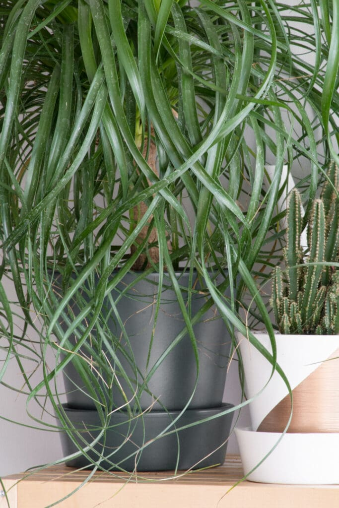 How to Care for a Ponytail Palm