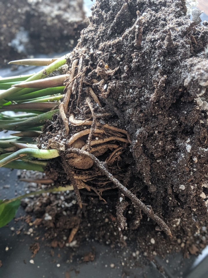 how to divide a zz plant at its rhizomes