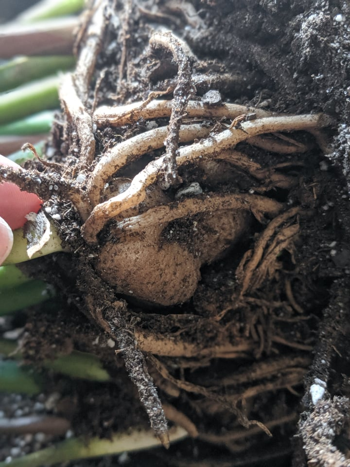tubers on a zz plant