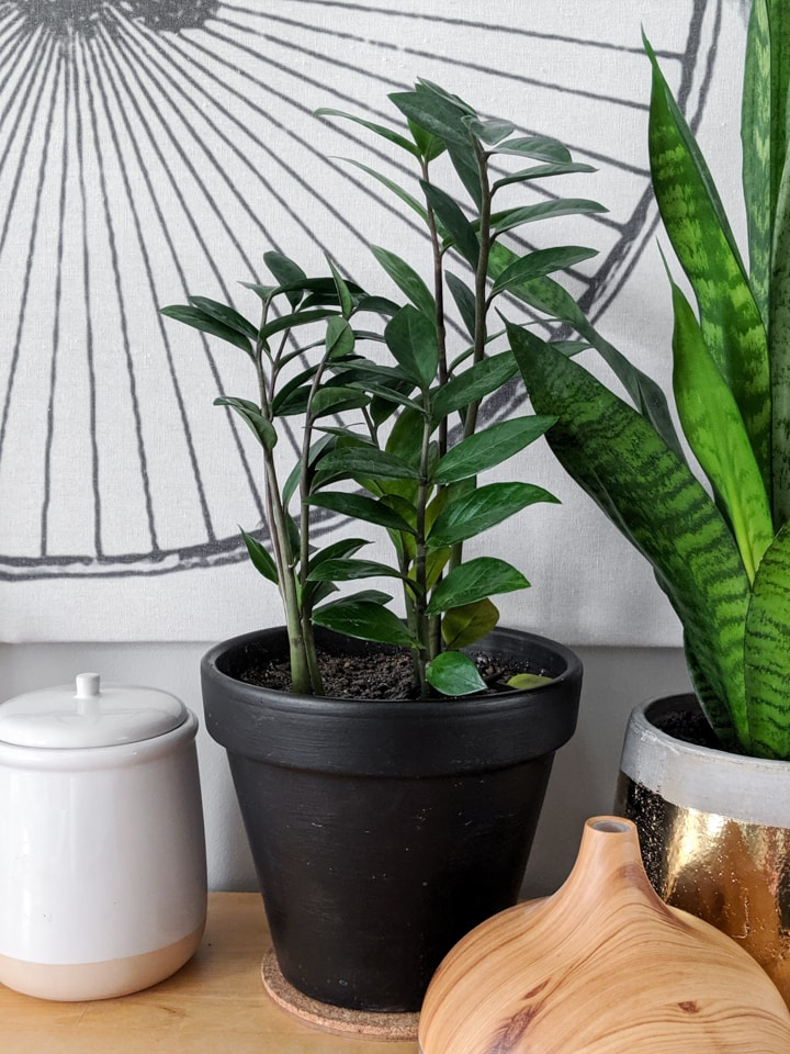 how to care for the zz plant