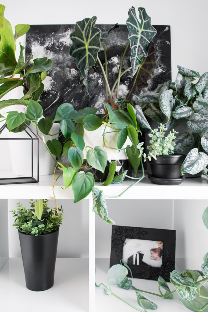 beautiful trailing heart-leaf Philodendron