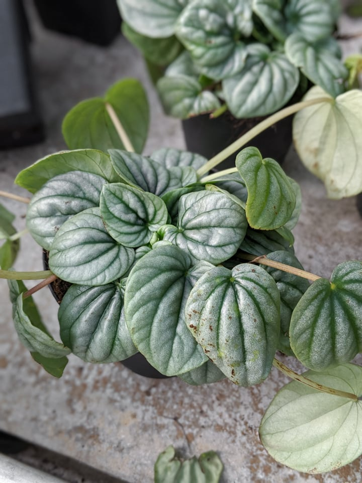 beautiful ripple peperomia leaf purple green