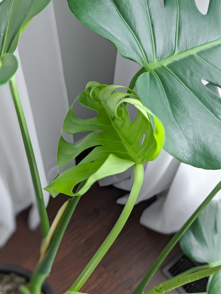 brand new beautiful monstera deliciosa leaf