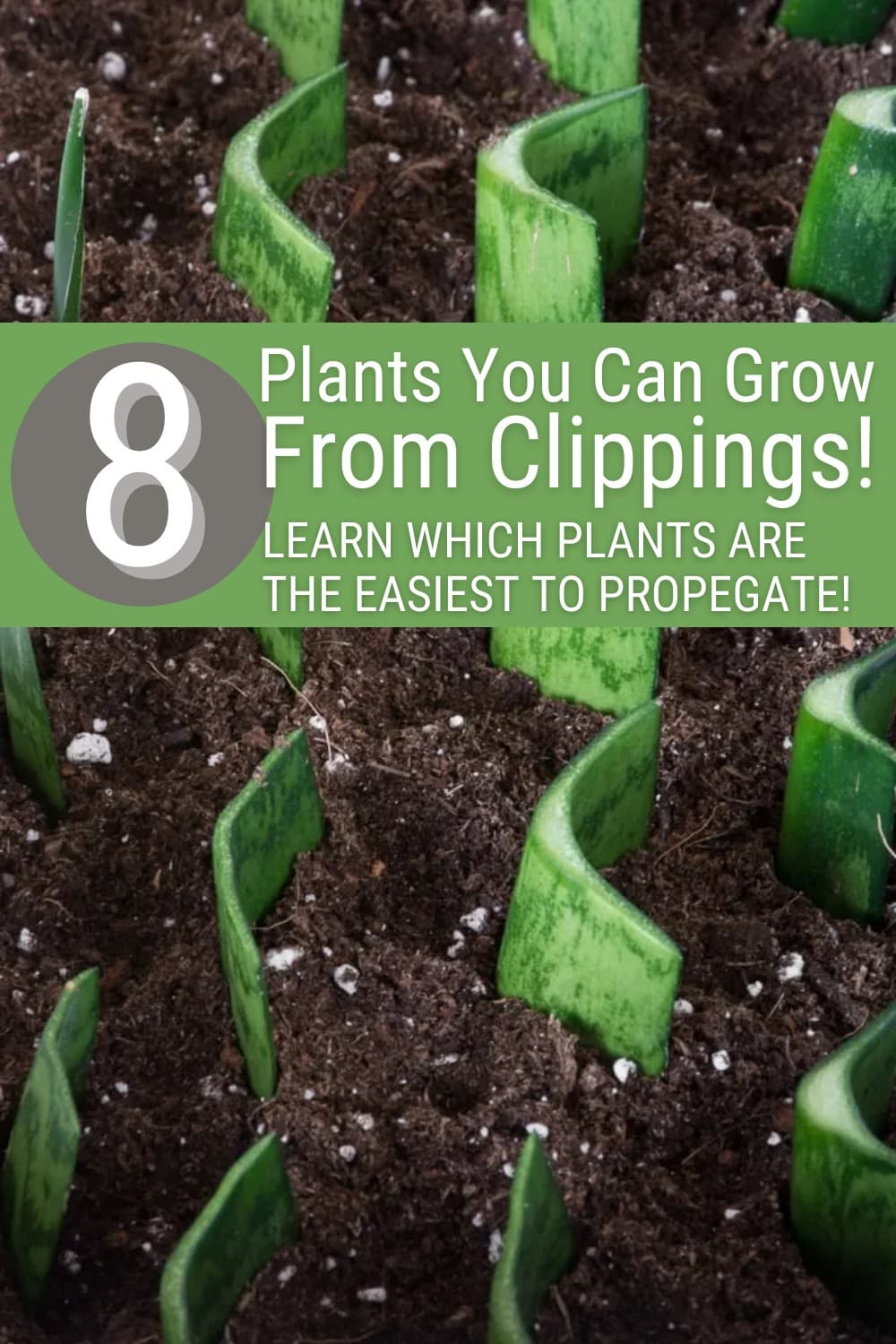 snake plant cuttings in dirt to propagate with text 8 plants you can grow from clippings learn which plants are the easiest to propagate