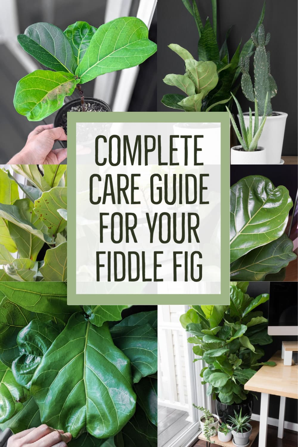 image collage how to care for your fiddle leaf fig with text Complete Care Guide for your Fiddle Fig